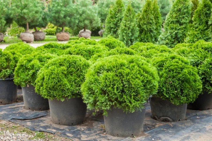 farma drzew ozdobnych