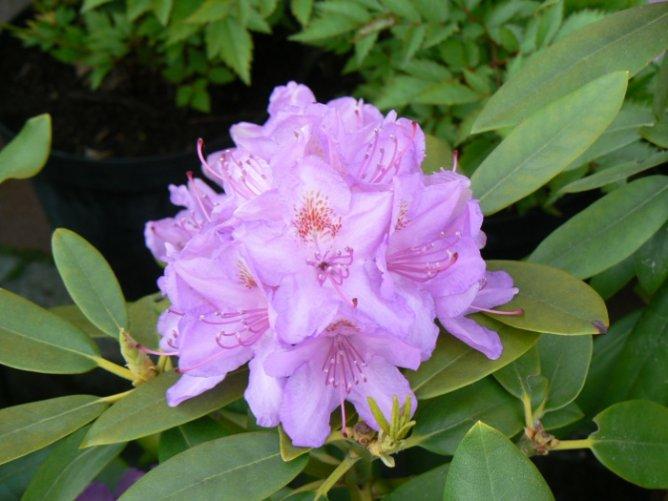 Różanecznik wielkokwiatowy
