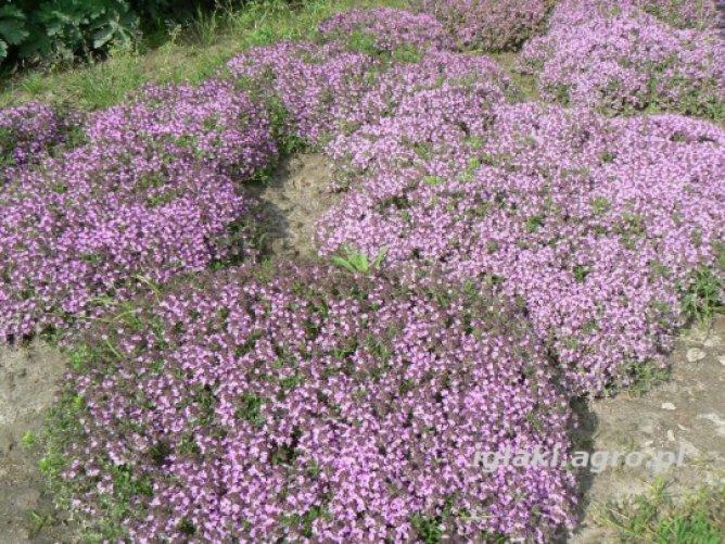 Macierzanka piaskowa fioletowa