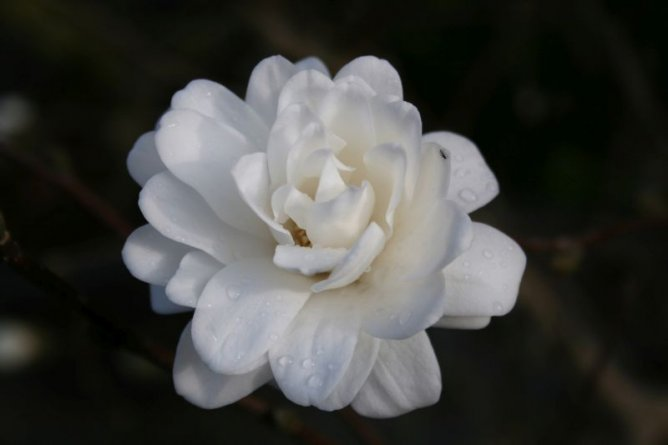 Magnolia Loebnera