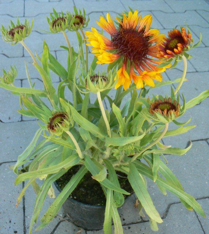 Gailardia wielkokwiatowa