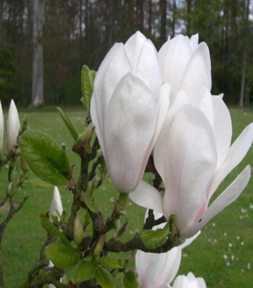 Magnolia Soulange'a